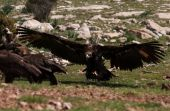 Gallarda, black vulture