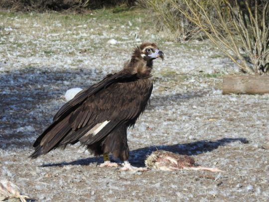 "Nice picture of ""Brínzola"" after being released in the Sierra de la Demanda, in one of his visits to the feeding point for cinereous vultures (PAE) that we manage in this area."