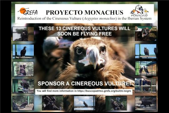 Support the Monachus Project by sponsoring a Cinereous Vulture!